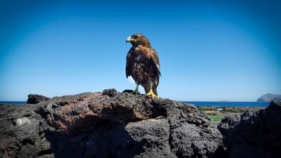 santiago puerto egas galapagos hawk