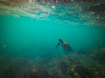isabela punto vicente roca turtle1