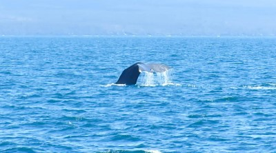 isabela navigation sperm whale