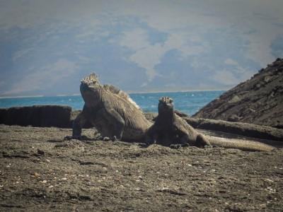 fernandina punta espinoza sea iguanas