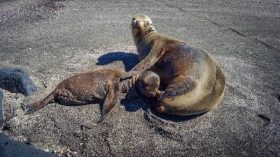 fernandina punta espinoza sea lions