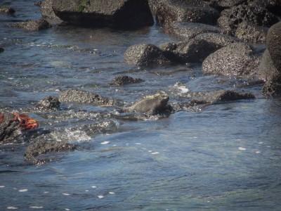 fernandina punta espinoza swimming iguanas