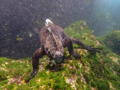 fernandina iguana snorkeling2