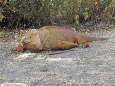 isabela urbina bay land iguana