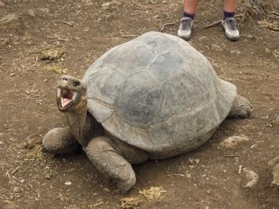 floreana tortoise