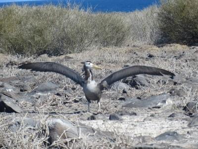 espanola punta suarez pelicane