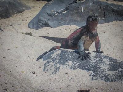 espanola punta suarez sea iguana
