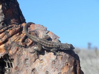 santa fe lava lizard